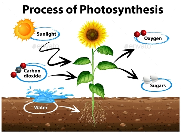 Process of photosynthesis in plants diagram complete wiring diagrams diagram showing sunflower and process of photosynthesis by blueringmedia rh graphicriver net detailed photosynthesis diagram photosynthesis ccuart Gallery