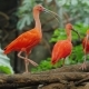 Several Beautiful Red Ibis Fighting for Food - VideoHive Item for Sale