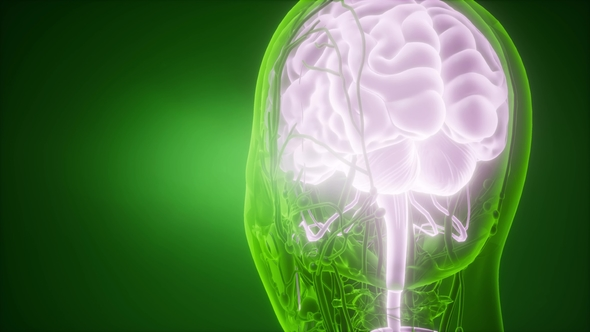 Anatomy Of Human Brain By Icetray Videohive