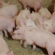 Intensively Farmed Pigs in Batch Pens - VideoHive Item for Sale