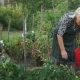 Senior Woman Is Picking of Tomato on His Backyard. Harvesting. The Farm. Healthy Eating - VideoHive Item for Sale