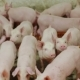 Piglets on an Industrial Pig Farm - VideoHive Item for Sale