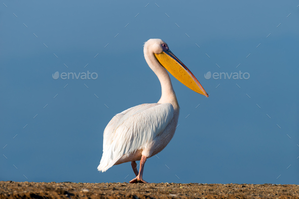 Great white pelican - Stock Photo - Images