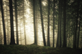 Pine tree forest with fog - PhotoDune Item for Sale