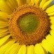 Sunflower in the Field - VideoHive Item for Sale