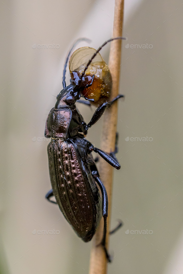 Predator Beetle eating small snail - Stock Photo - Images