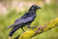 Black Carrion Crow on mossy log - PhotoDune Item for Sale