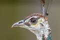 Head of female Peacock - PhotoDune Item for Sale