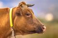 Brown cow headshot - PhotoDune Item for Sale