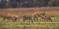 Buck deer guarding hinds - PhotoDune Item for Sale