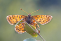 Cranberry Fritillary  seen from underside - PhotoDune Item for Sale