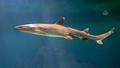 White tip reef shark  swimming - PhotoDune Item for Sale