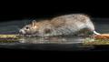 Wild brown rat moving in water - PhotoDune Item for Sale