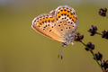 Female silver studded blue butterfly resting in evening light - PhotoDune Item for Sale