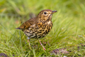 Song Thrush with green grass background - PhotoDune Item for Sale