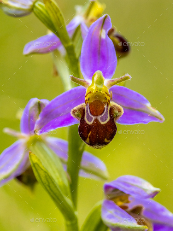 Bee orchid Pink flower - Stock Photo - Images