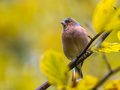 Chaffinch on autumnal  branch - PhotoDune Item for Sale