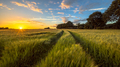 Tractor Track through Wheat field at sunset - PhotoDune Item for Sale