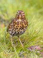 Song Thrush looking at camera with green grass background - PhotoDune Item for Sale
