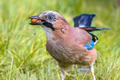 Eurasian jay in grass with nuts - PhotoDune Item for Sale