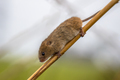 Harvesting mouse on stick of reed - PhotoDune Item for Sale