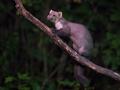 Wild Beech marten on branch - PhotoDune Item for Sale