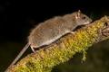 Wild Brown rat on log at night - PhotoDune Item for Sale