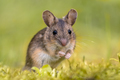 Wood mouse on green background - PhotoDune Item for Sale