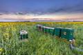 Beehives in a rapeseed field - PhotoDune Item for Sale