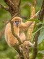 Lar gibbon resting on branch in rainforest jungle - PhotoDune Item for Sale