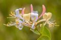 Perfoliate honeysuckle close up - PhotoDune Item for Sale