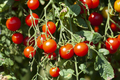 Organic Red Cherry Tomatoes - PhotoDune Item for Sale