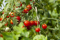 Green Leaves and Red Tomatoes - PhotoDune Item for Sale