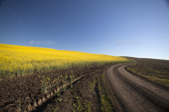 Curving road in rape field - Stock Photo - Images