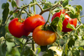 Four Red Tomatoes - PhotoDune Item for Sale
