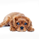Puppy isolated on white background - PhotoDune Item for Sale