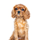 Sitting puppy isolated on white background - PhotoDune Item for Sale
