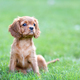 Puppy sitting on the green grass - PhotoDune Item for Sale
