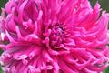 Pink flower of chrysanthemum close-up - PhotoDune Item for Sale