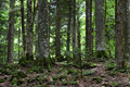 Trees in deep forest - PhotoDune Item for Sale