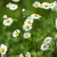 Wild daisy flowers - PhotoDune Item for Sale
