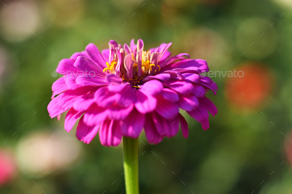Pink flower of zinnia close-up in garden - Stock Photo - Images