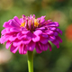 Pink flower of zinnia close-up in garden - PhotoDune Item for Sale