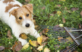 Autumn dog - funny pet puppy lying in the grass with leaves - PhotoDune Item for Sale