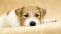 Web banner of a cute happy jack russell terrier pet dog puppy - PhotoDune Item for Sale