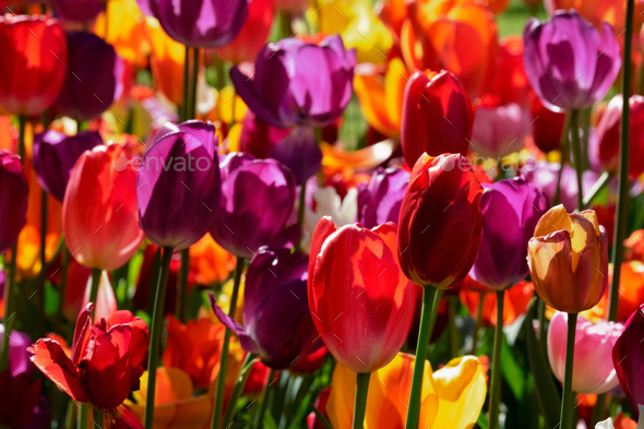 Blooming tulips flowerbed in Keukenhof flower garden, Netherland - Stock Photo - Images