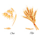 Ears of Wheat, Oat, Rye and Barley - GraphicRiver Item for Sale