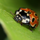 Eyed ladybird macro closeup - PhotoDune Item for Sale