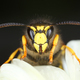 Wasp front view macro close-up - PhotoDune Item for Sale