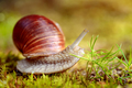 Helix pomatia also Roman snail, Burgundy snail - PhotoDune Item for Sale
